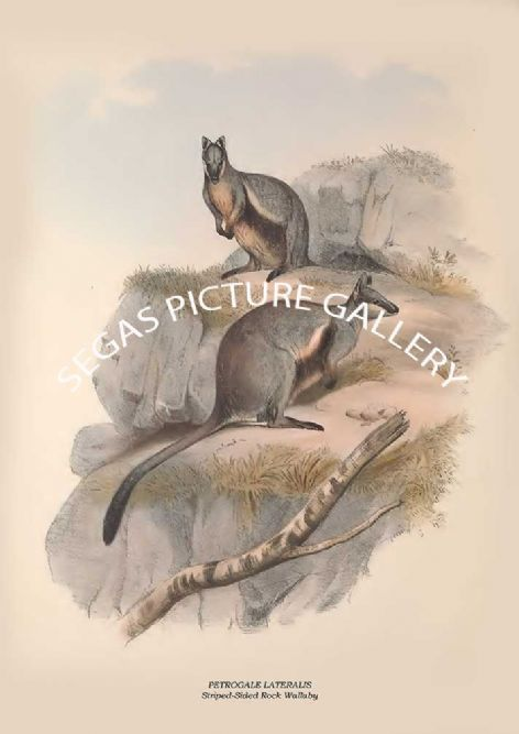Fine art print of the PETROGALE LATERALIS - Striped-Sided Rock Wallaby  by John Gould (1841-2)